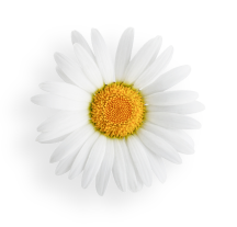 Spring Daisy Transparent